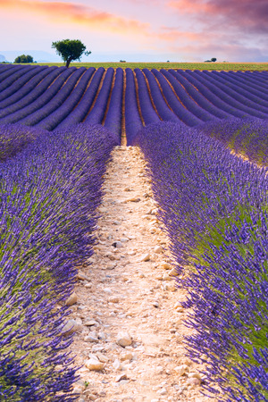 Beautiful lavender fields in a summer day in Valensole, France Stock Photo