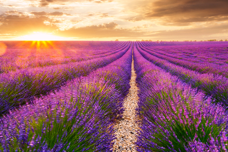 Beautiful  lavender fields in Valensole, France