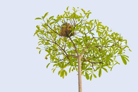 domesticity: bird nest on tree.