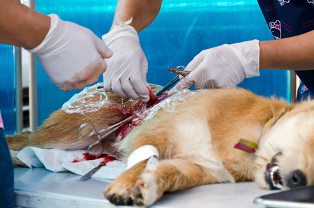 veterinarian sterilization operation on dog, photo
