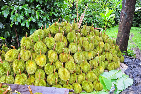 Durians in garden photo