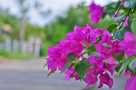 bougainvilleas: Pink blooming bougainvilleas in garden.