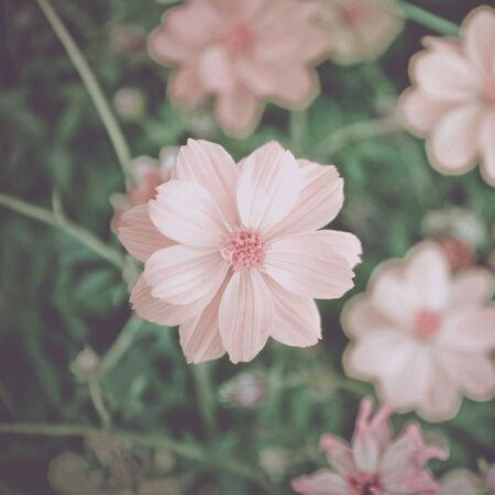 Cosmos Flowers soft light photo
