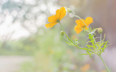 Yellow flowers background with pastel tone. photo
