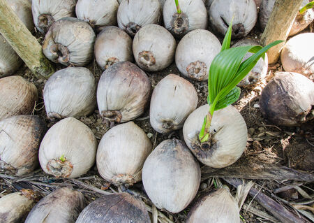 coconut seedlings: coconut seedlings prepare for planting Stock Photo