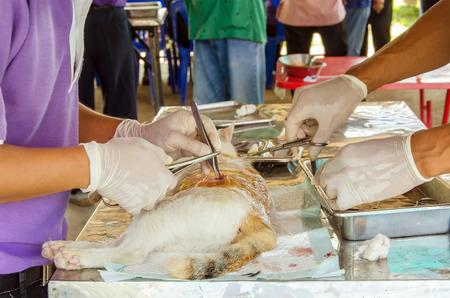 sterilization: veterinarian sterilization operation on cat