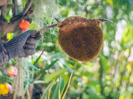 Nest bee in hand, Apis florea.