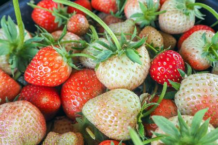strawberry in growth at garden.
