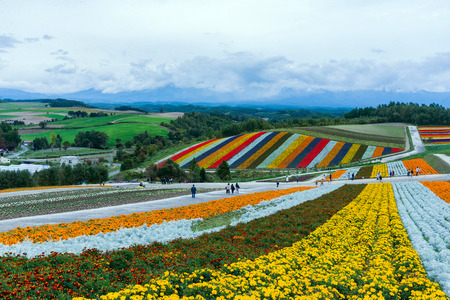 rainbow fields of silver dust, marigolds, and scarlet sage at the flower fields of shikisai-no-oka Farm beautiful flowers farm colorful hill at Biei, Hokkaido, Japan Standard-Bild - 110095609