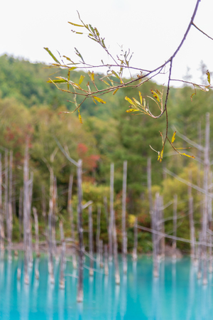 green leaf with background blue pond in Biei, Hokkaido Japan. Standard-Bild - 110095657
