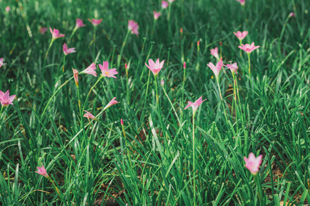pink flower in garden, vintage tone. Standard-Bild - 110095795