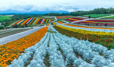Rainbow fields of silver dust, marigolds, and scarlet sage at the flower fields of shikisai-no-oka Farm beautiful flowers farm colorful hill at Biei, Hokkaido, Japan Standard-Bild - 110095828