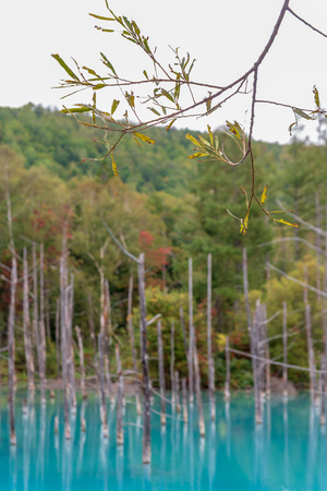 green leaf with background blue pond in Biei, Hokkaido Japan. Standard-Bild - 110097262