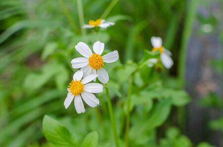 The Spanish needle or black-jack flowers in garden. Standard-Bild