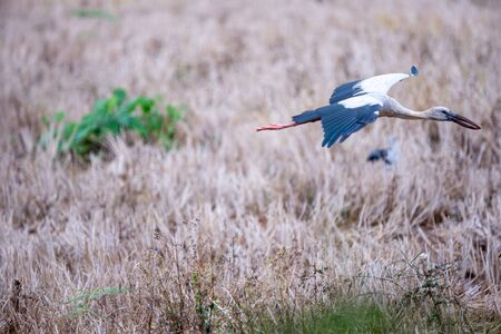 Asian openbill stork in filed . Standard-Bild