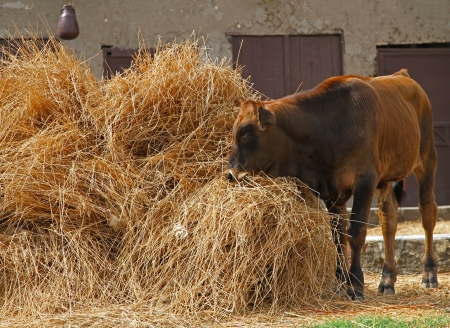 Domesticated farm cow grazing from pile of hay