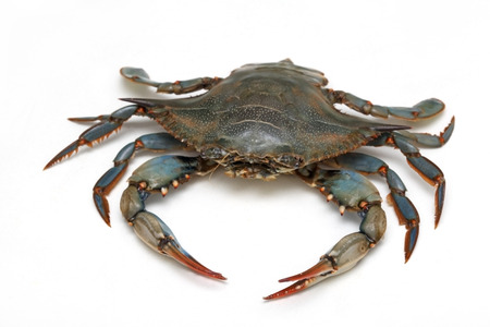 Live blue crab animal on white background