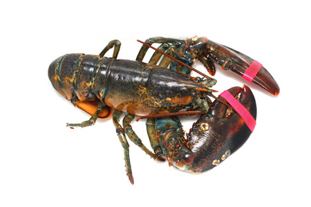 Live lobster taken out from a tank with claws secured with elastic band Stock Photo