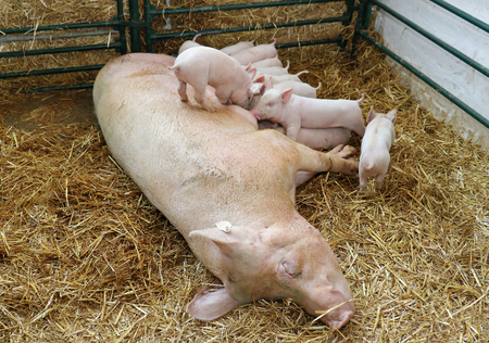 Piglets struggling to reach mother for suckling milk Reklamní fotografie