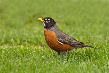 American Robin sits in a field of grass in Spring Imagens