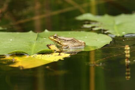Close up of a frog on a lilly pad in a pond. Stock Photo - 6155541