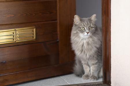 Gray siberian cat on the door threshold Stock Photo