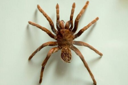 eight legs: a VERY large spider Stock Photo