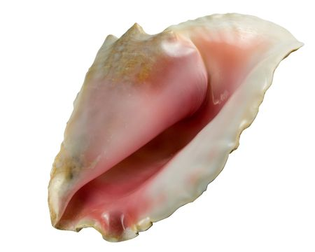 snorkle: Conch Shell with Clip Path