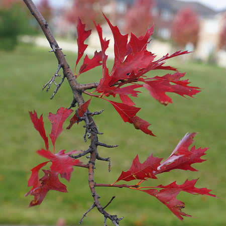 late fall: red oak - Canadian Red Oak leaves in late fall Stock Photo