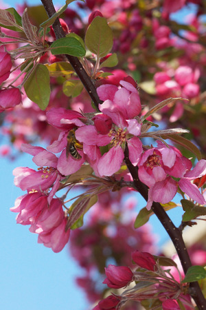 crab apple tree: blooming apple tree - red flowers of a crab apple tree, where bee collects honey