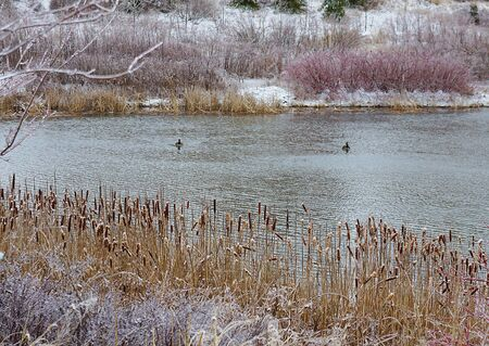 wintering: Wintering ducks - shore plants icebound, but the ducks stayed for the winter on the lake that remained unfrozen