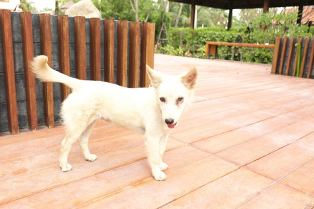 fence: White dog stand on floor