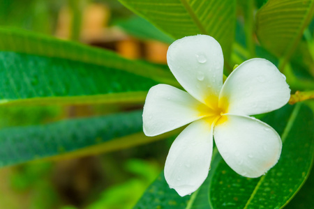 sward: plumeria white flower in garden