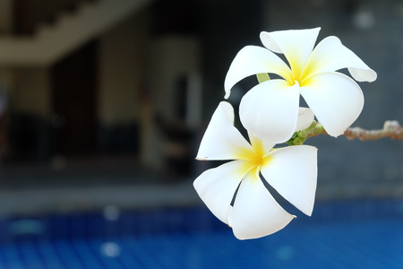 pool side: plumeria at swimming pool side Stock Photo
