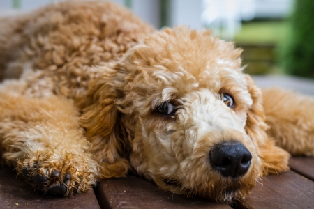 Very young Poodle waking up from a nap Stock Photo