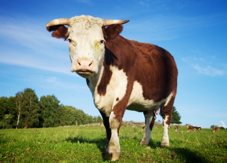 Big cow standing on the meadow in summer