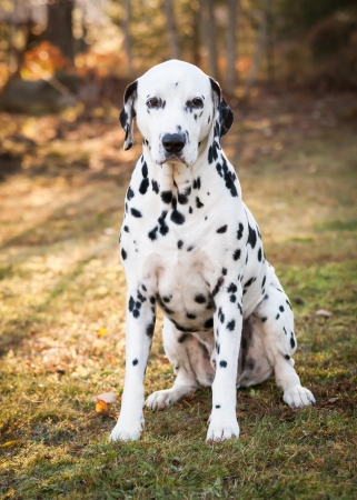 Dalmatian dog sitting on the grass on a sunny autumn day