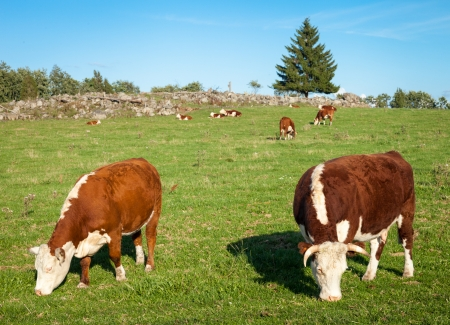 Two Hereford cows eating hay and grazing on the meadow.