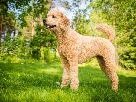 poodle: young poodle standing on the grass in the summer  Stock Photo
