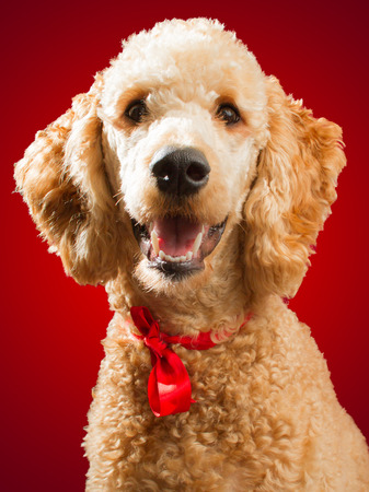 Happy standard poodle in portrait on red background  photo