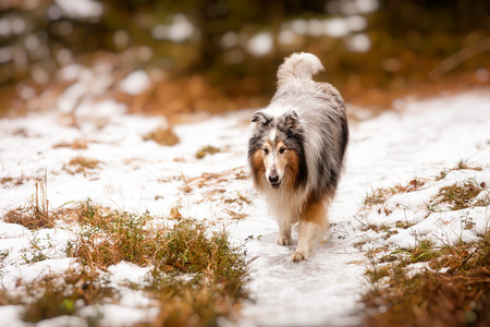 Adorable collie walking in the forest in wintertime  photo