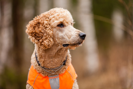 poodle: Standard poodle head close-up on a hunting session