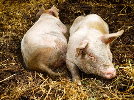 pigpen: Two pigs lying side by side in a pigpen  Dirt all over the animals makes the scene authentic