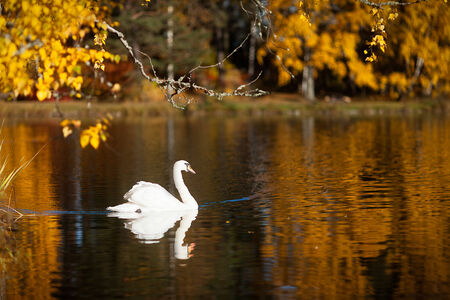 Single swan swimming on a lake in vibrant autumn colors in Finland. photo