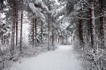 road and path through: Snowy road going through the forest in the winter in Finland. White snow covering the trees and path leading to the woods.