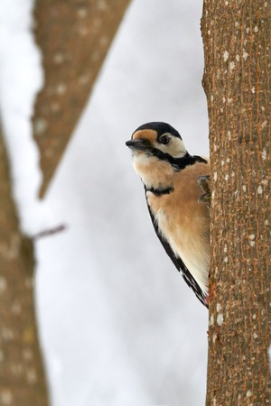 Great spotted woodpecker behind a tree in the winter. photo