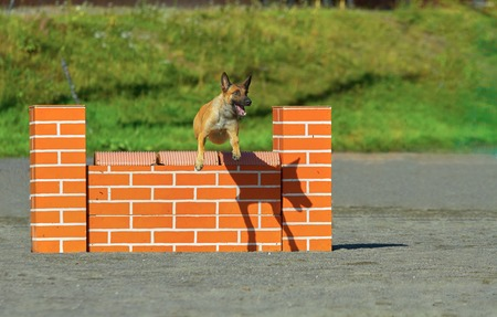 exiting: Belgian Stepherd jumping over the hurdle agility competition, an exiting dog sports event. Stock Photo