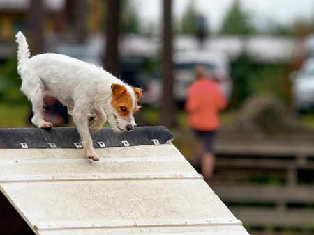 exiting: Parson Jack Russel Terrier in agility competition, an exiting dog sports event.