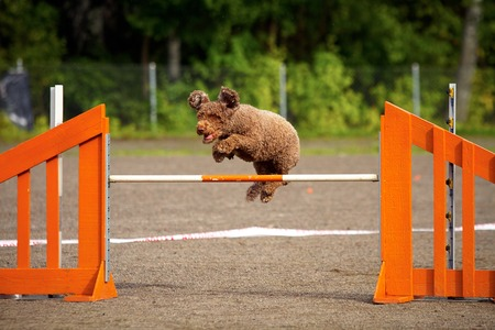exiting: Spanish Water Dog jumping over the hurdle in agility competition, an exiting dog sports event. Stock Photo