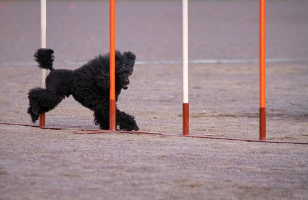 dog agility: Black poodle weaves  in dog agility competition, an exiting dog sports event.